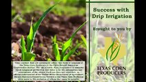 Texas Corn on Drip Irrigation Agricultural Technology/Agricultural Tve