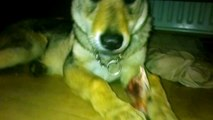 czechoslovakian wolfdog uk http://csvclubofgb.forumotion.co.uk/forum