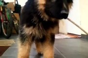 Dima - my German Shepherd Dog, Crazy Puppy Barking