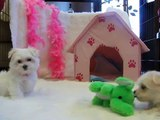 Cute Tiny Toy Maltese Puppies Playing