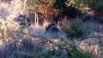 Gnu auf der Pirsch auf der Jagd und Gästefarm Ondombo in Namibia