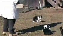 Imp Jace/Imp Roy pups 7 weeks