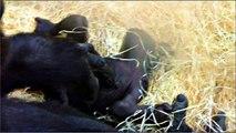 Boy or Girl? Baby Gorilla at Munich Zoo - Mädchen oder Junge? Baby Gorilla Tierpark Hellabrunn