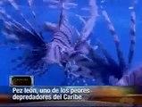"""""""El pequeño moustruo del caribe"""" Pez león, uno de los peores depredadores del Caribe"""
