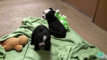 Bostons Terriers Puppies 2-5