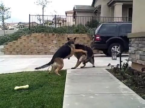 German Shepherds Play Rough