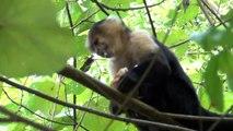 Costarica - Scimmie cappuccino  (monos cara blanca)