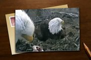 Eagle Cam: Decorah, Iowa Bald Eagle 3rd CHICK Hatches GOES POOP (LIVE VIDEO)