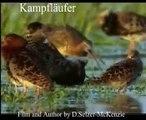 Kampfläufer Vogel Tiere Animals Natur SelMcKenzie Selzer-McKenzie