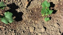 Jardinage : les cornichons made in Oise de Maryse Delafollie