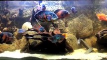 Aquarium 3000 litres cichlidés