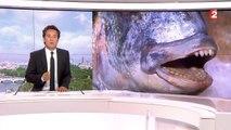 Environnement : dans le Morbihan, les daurades royales broient les huîtres de leurs dents