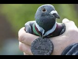 pigeon hero war pigeons homing pigeons
