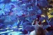 Piranhas and Lamprey Eels in Atlantis, Paradise Island Bahamas