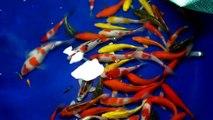 Cá Chép Koi Sài Gòn đợt 1 - Trang trại cá Koi Luna Koi