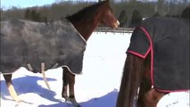 Horses playing in the snow (Rolling in the Snow)