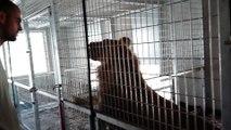 Les lions du parc de l'Auxois s'amusent avec le chef animalier du parc, Geoffrey