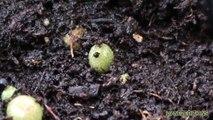 Germinación de Semillas de Peyote - Germination of Peyote Seed - (how to grow)