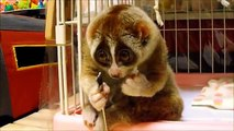 Slow Loris and a Rice Ball