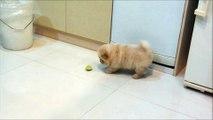 Chow chow puppy  Bobby Vs lemon very funny..