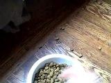 Weimaraner puppy 1st day home
