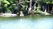 Bald Eagle slaps attacking Eastern King Bird of its back, before swooping down & catching fish.