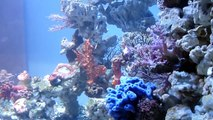 Bryaninops natans (Reef Cool)