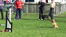 Honey winning grade 5 agility and jumping at Dog Vegas