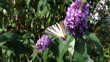 le papillon le Flambé sur un arbre à papillon