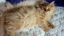 Victoria & Gustav - Traditional Persian Cats