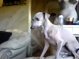 China  my Italian Greyhound Talking