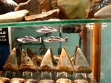 Fossil shark tooth collection and associated fossils