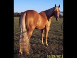 Miss Cols Prescriptin - 2005 APHA Palomino Mare - beautiful, very nice barrel horse for sale.