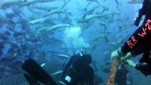 Swimming with 15 ft. Tiger Shark - Beqa Lagoon Shark Dive, Fiji