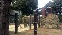 上野動物園 ゾウの行進 Ueno Zoo