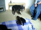 3 week old staffordshire bull terrier puppies staffie staffy staff sbt dogs www.shakkastaffs.co.uk