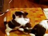shih tzu puppies(1 months old) playing