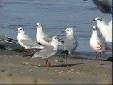 Mouette rieuse - Black-headed Gull - Lachmöwe  ( Larus ridibundus )