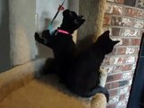 16 week old black British Shorthair kittens playing on a cat post