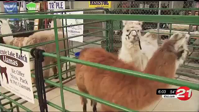 Kids get up close with llamas