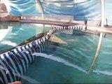 Sneak Peak : Aquarium of the Pacific  Tiger Shark