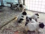 Cuccioli lagotto romagnolo da tartufo