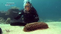 Seaview Science Video: Sea Cucumbers