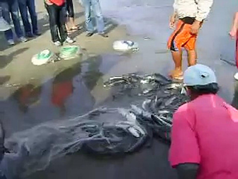 Pesca da Tainha com auxílio do Boto - Laguna - SC