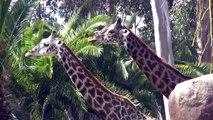 Nature Documentary | Giraffes Attacking Each Other | Giraffes | Lions Vs Giraffe | African Animals