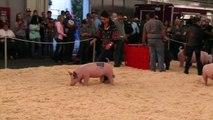 2014 Cow Palace Market Hog Grand Drive