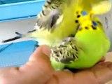Muhabbet Kuşu, Muhabbet Kuşu Çiftleşmesi, Muhabbet Kuşu Sesi (Süper Görüntüler) ✔