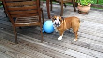 Coco The Bulldog, Plays with our Horses Jolly Ball