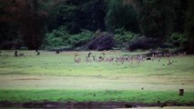 Hunting deer by wild dogs along with wild boars - live - heylos