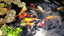 Water lilies in bloom! Koi Pond Update To How to Build a Koi Pond.